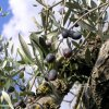 Our ripening olives